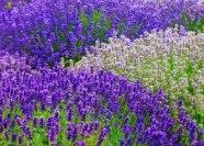 lavendar2